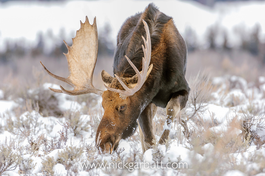 Bull Moose (Alces alces) grazing in snow. Near Jackson Hole, Grand Teton National Park, Wyoming.