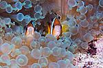 Amphiprion clarkii, Clark's anemonefish, Ambon, Indonesia