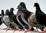 Birds - Pigeons on a Rail, Wild Birds of Seal Beach, California. Photo by Alan Mahood.