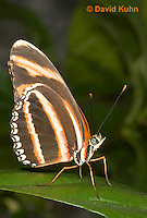 0402-08ss  Banded Orange Heliconian, Dryadula phaetusa, South and Central America © David Kuhn/Dwight Kuhn Photography