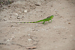 lizzard on the street in puerto lopez ecuador