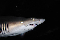 Ragged-Toothed Shark in Aquarium, Cape Town, South Africa