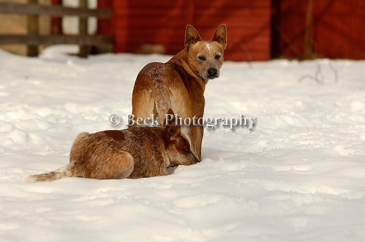 BRIGGS AND NORMA JEAN, THE BLUE HEELERS, WATCH IN THE SNOW AT THEIR HOME IN BENTON