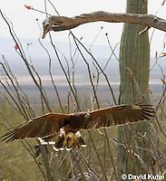 0405-1230  Harris's Hawk in Flight, Harris Hawk (Bay-winged Hawk or Dusky Hawk), Parabuteo unicinctus  © David Kuhn/Dwight Kuhn Photography