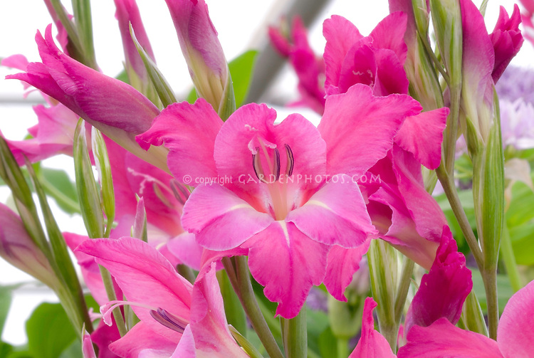 Gladiolus pink Gladioli flowers, summer flowering annual bulbs, make great cut flowers