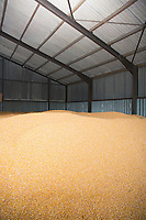 Maize in a grain store<br /> Picture Tim Scrivener 07850 303986<br /> &hellip;.covering agriculture in the UK&hellip;.