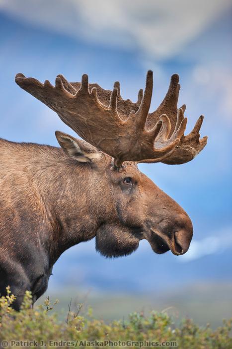 Large bull moose in velvet antlers on the tundra in Denali National Park, Interior, Alaska.