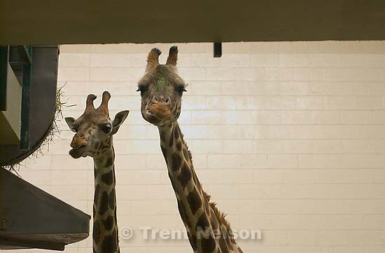 Salt Lake City - Daphne and Batwana, two Baringo Giraffes at the Hogle Zoo. Two other giraffes at the zoo died over the weekend.<br />