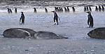 South Georgia Island (British Overseas Territory) , southern elephant seal (Mirounga leonina) , king penguin (Aptenodytes patagonicus)