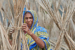 Shahera Begum dries jute in the sun at her home in West Fasura, a village on an island in the Brahmaputra River in northern Bangladesh. Fiber from the stalks is used to make rope.