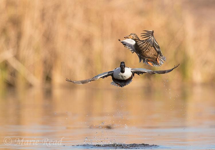 Northern Shovelers (Anas clypeata) pair taking flight from water, Henderson, Nevada.