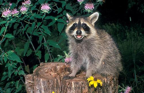 Young raccoon, Procyon lotor, on stupm among bee balm, Bergamot, flowers, Missouri, USA
