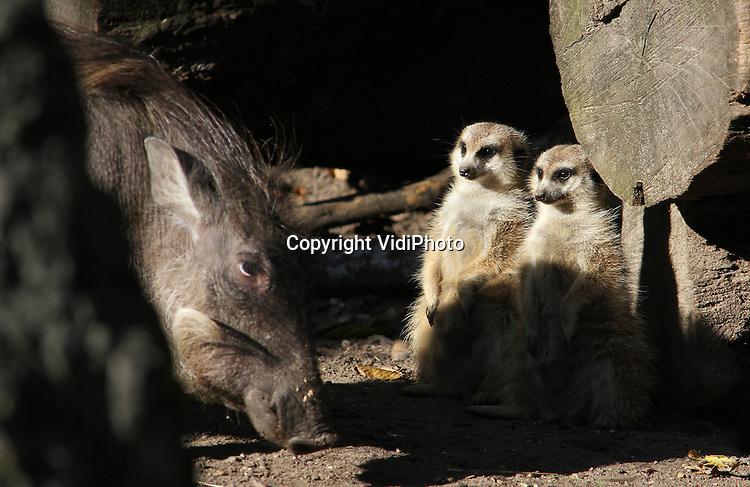 Foto: VidiPhoto..RHENEN - Wrattenzwijnen blijken uitermate geschikt om truffels op te sporen. Dat blijkt uit een donderdag gehouden experiment met deze dieren in Ouwehands Dierenpark in Rhenen. In plaats van echte truffels, verstopte de dierentuin bospaddenstoelen overgoten met truffelolie in het buitenverblijf van de wrattenzwijnen. De Afrikaanse varkens bleken prima in staat om de lekkernij te vinden. In de Perigord in Frankrijk worden de beroemde truffels vaak gezocht met speciaal daarvoor getrainde varkens of honden. Foto: De stokstaartjes kijken met verbazing toe naar het ongewone gedrag van de zwijnen..