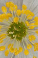 Busch-Windröschen, Buschwindröschen, Blüte, Einzelblüte, Blütenaufbau mit Staubblatt und Fruchtknoten, Anemone nemorosa, Wind Flower, Wood Anemone, Frühjahrsblüher