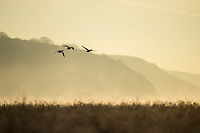 Thursday  01 December 2016<br /> Pictured: Geese fly though the sunset in  Laugharne, West Wales <br /> Re: The cold snap continues across the UK with many parts of the country experiencing sub zero temperatures.