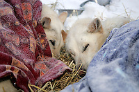 Thursday March 8, 2007   ----  Two of Scott Smith's lead dogs rest under blankets at Takotna on Thursday morning.