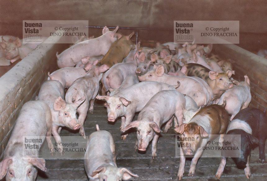 - breeding of pigs in Modena province....- allevamento di maiali in provincia di Modena