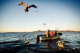 MEXICO, Baja, Magdalena Bay, Pacific Ocean, fishermen being swarmed by pelicans in the bay
