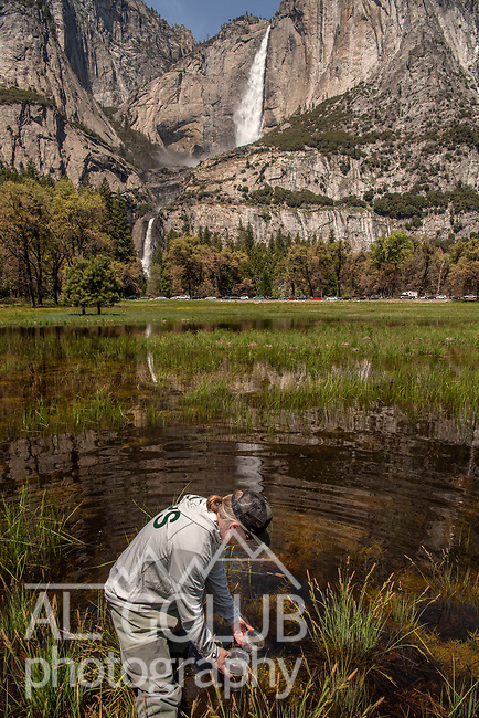 Yosemite National Park Aquatic Ecologist Rob Grasso releases a Red-Legged Frog in water in Cooks Meadow in Yosemite Valley. Yosemite Falls is seen flowing in the background.  Photo by Al Golub, Yosemite Conservancy. All photos may be published in print and electronic media. These images have not been altered.