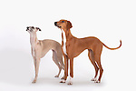 Azawakn & Whippet Dog, pair standing, together, Studio, White Background