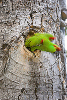 Thick-billed Parrot, Rhynchopsitta pachyrhyncha, nesting in Quaking Aspen
