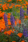 California poppies and lupine