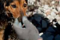 Jean Claude Authier's dog watches closely as his master examines a truffle, Puget-Theniers, France, 09 February 2011. Truffle dogs need to be trained to search out truffles as they don't naturally have a strong preference for the flavour.