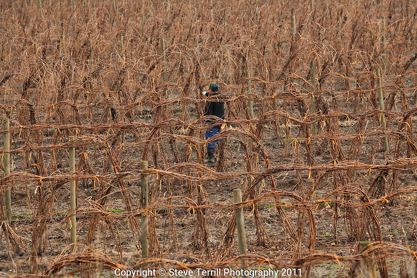Wrapping up raspberry vines in Cowlitz County, Washington