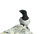 Little Auk - Alle alle. L 20cm. Our smallest auk with a dumpy body, short neck and tiny, stubby bill. Flies on whirring wingbeats and can look almost Starling-like in flight. Swims well and dive frequently. Sexes are similar. Adult in winter has black cap, nape and back, and white underparts; at close range, note white lines on wings and tiny white crescent above eye. Not seen in breeding plumage in our region. Voice Silent at sea. Status Winter visitor from Arctic breeding grounds where it is locally abundant. Probably numerous in N North Sea in winter but seldom comes close to land by choice.