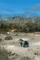 Nazca booby's on the remote northern island of Genovesa. Genovesa is one of the smaller of the Galápagos islands A small island and is shaped of a horseshoe - the interior bay is the caldera of an ancient volcano.