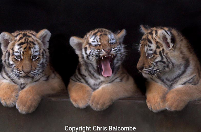 These tiger cub triplets were photographed at a UK zoological park. The rare Amur cubs were nervous at first, refusing to emerge from their wooden home, but eventually they popped their heads out.<br /> <br /> Picture by Chris Balcombe