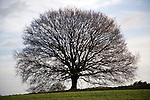 Small leafless oak tree in winter, Sutton, Suffolk, England