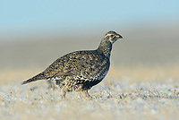 Female Greater Sage-Grouse (Centrocercus urophasianus) walking across a snow covered lek. Sublette County, Wyoming. March.