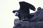 Adult male Andean Condor on rock with wings open. Torres del Paine National Park,Chile