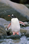 Preparing for an Antarctic plunge, a little Gentoo penguin reveals roseate feet and inner wings, typical characteristics of this species of bird.<br /> Cuverville Island, Antarctic Peninsula