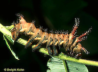 LE44-003z  Moth - Regal Moth Caterpillar - Hickory Horned Devil - Citheronia regalis