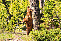 """""""Grizzly Bear Love Tree""""  Yellowstone National Park  Madison River 