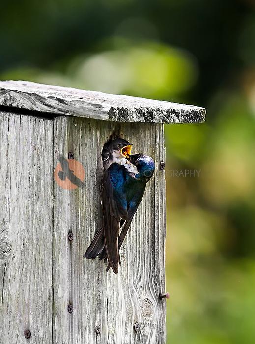 Tree Swallow feeding nestling with nestling's beak open