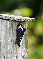 Tree Swallow feeding nestling with nestling's beak open