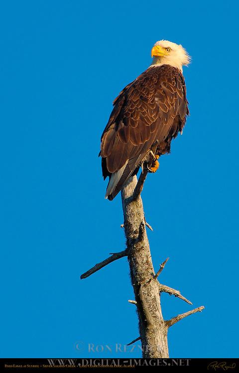 Bald Eagle at Sunrise, Silver Salmon Creek, Lake Clark National Park, Alaska