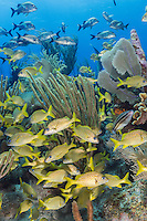 TR4429-D. French Grunts (Haemulon flavolineatum)&mdash;the yellow fish below&mdash;and Caesar Grunts (Haemulon carbonarium) above, are both commonly seen throughout the Caribbean and in the Florida Keys, often in schools on coral reefs. Here they aggregate amongst sea rods and sea fans. Cayman Islands, Caribbean Sea.<br /> Photo Copyright &copy; Brandon Cole. All rights reserved worldwide.  www.brandoncole.com