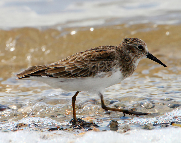 Least sandpiper in Sept