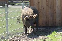 Wollschwein - Werdum 24.07.2020: Haustierpark Werdum