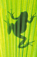 Pacific Tree Frog silhouette..Southern British Columbia. Canada..Spring. Hyla regilla.