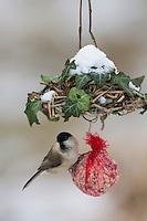 Weidenmeise, selbstgemachtes Vogelfutter in Säckchen verpackt als Meisenknödel, Vogelfütterung, Fütterung, Fettfuttermischung, Fettfutter, Winterfütterung, Winter, Schnee, Weiden-Meise, Mönchsmeise, Mönchs-Meise, Meise, Parus montanus, Poecile montanus, willow tit, bird's feeding, snow, La Mésange boréale