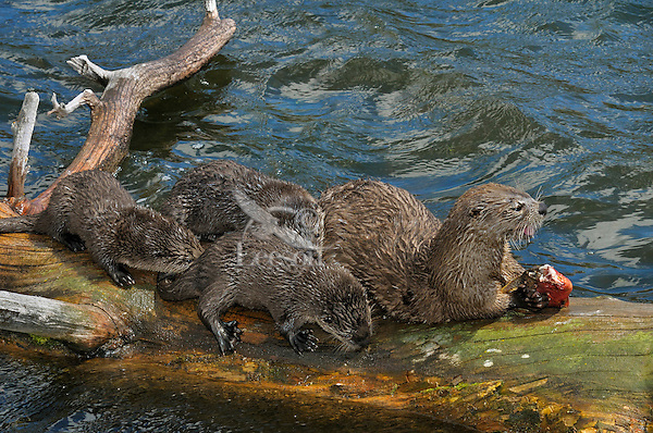 Northern River Otter (Lontra canadensis) mother--with young pups-- feeding on cutthroat trout.  Western U.S., summer. At this stage the pups did not have the teeth to tear or chew the fish skin, but they constantly harassed the mother while she ate..