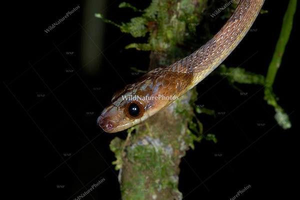 The Northern Cat-eyed Snake, Leptodeira septentrionalis, is a predator of the Red-eyed Tree Frog