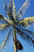 Amazon, Brazil. Euterpe oleraceae, the Assai (Acai) palm; fruits used for ice cream and juice, high in Vitamin C.