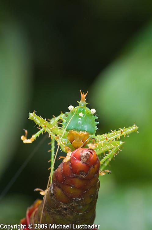 Spike-headed Katydid (Panacanthus cuspidatus)