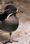 Rhinoceros Auklet, Pribilof Islands, Alaska
